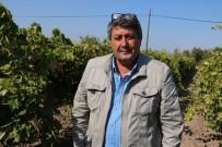 KOLDERE - Zeytinde Rekolte Düşük Ancak Üreticiler Fiyatlardan Umutlu