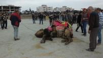 DEVE GÜREŞİ - Burhaniye'de Güreşçi 82 Deveye Havut Giydirildi