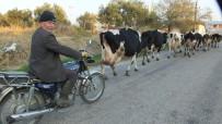 KEÇİ - Burhaniye'de Motosikletli İnek Çobanı
