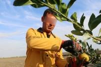 HAZİNE ARAZİSİ - Organik Tarım Yaparak Cezalarını Çekiyorlar