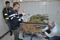 DAĞ KEÇİSİ - Tunceli'de Hasta Dağ Keçisi Tedavi Altına Alındı