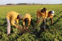 HAZİNE ARAZİSİ - Cezalarını Organik Tarım Yaparak Çekiyorlar