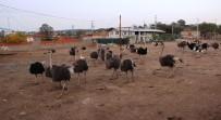 DEVE KUŞU - Türkiye'nin En Büyük Deve Kuşu Üretim Çiftliği Çanakkale'de