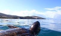 GÜZELÇAMLı - Deniz Kaplumbağalarını Korumak İçin Tabela Dikildi