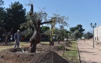 HAKAN TÜTÜNCÜ - Kepez Belediyesinden Park Ve Bulvarlara 100 Zeytin Ağacı
