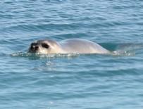 ANTALYA - Konyaaltı Plajı'nda 'Akdeniz Foku' heyecanı