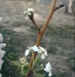 HÜSEYIN KAYA - Kasım Ayında Erik Fidanı Çiçek Açtı