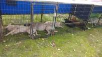 SAKARYA NEHRI - Osmaneli'de Başıboş Sokak Hayvanları Kısırlaştırılıyor