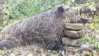 300 Kilogram Ağırlığındaki Domuzu Avladılar