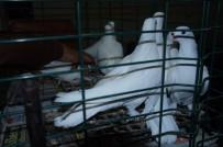 HAYVAN SEVERLER - Lapseki'de Güvercin Severler Derneği Mezadı Yapıldı