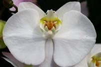 GUATEMALA - Orkide ithalatına Adana'dan yerli ve milli çözüm
