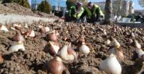 LALE SOĞANI - Gölbaşı'na 70 Bin Lale Soğanı Ekildi