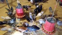 GUINNESS REKORLAR KITABı - Dünyanın En Büyük Mavi Yumurta Damızlık Tesisi Sakarya'da Açıldı