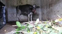 SARIYER BELEDİYESİ - Sarıyer'de Aç Sokak Köpekleri Çiftlikteki Hayvanlara Saldırdı