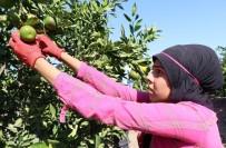 KABALA - Ailesi İçin Okulu Bırakıp Tarlada Çalışıyor