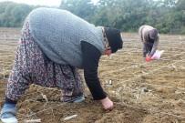 YERLİ TOHUM - Milli Tohumlar Kadın Eliyle Ekiliyor