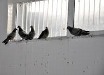 KAFKAS ÜNİVERSİTESİ - Yavru Güvercinleri Anneleri Gibi Beslediler