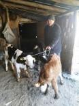 BÜYÜKBAŞ HAYVAN - Hayvanlar Sahibine, Hırsız Da Cezaevine Teslim Edildi