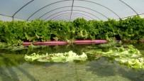 HOLLANDA - Havuzlu Sistemde Su Üstünde Yetişiyor