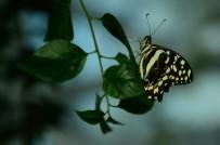 ŞAHIT - Doğal Yaşam Alanındaki Kelebeklere Ziyaretçi Akını