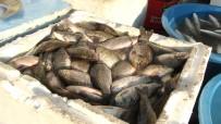 FEN FAKÜLTESİ - İstilacı İsrail Sazanları Diğer Balıkların Baş Düşmanı