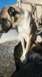 ÇOBAN KÖPEĞİ - Kangal Köpeği Yavru Kediye Annelik Yapıyor