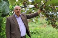 ŞEKER ORANI - Rize Genelinde 4 Bin Ton Kivi Hasadı Gerçekleşti