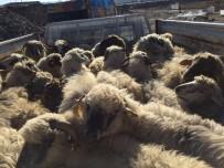 KARAÇAY - Sungurlu'da Genç Çiftçilere 210 Koyun Hibe Edildi