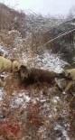 YABAN DOMUZU - Sürüye Saldıran Yaban Domuzunu Kangal Köpekleri Telef Etti