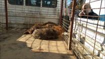 CANDARLı - Gölete Düşen Çakallar İçin Kurtarma Operasyonu