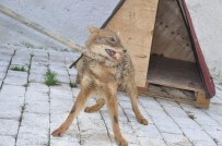 ÇAKAL - Gölette Mahsur Kalan Çakalları Belediye Kurtardı