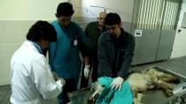 BAKIM MERKEZİ - Yaralı Tilki Tedavi Altına Alındı