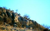 AKÇALı - Adıyaman'da Yaban Keçilerinin Envanteri Çıkartıldı