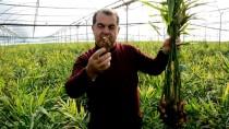TROPİKAL MEYVE - Antalya'da İlk Kez Üretilen Zencefilde Hasad Dönemi