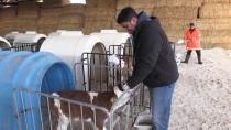 SAN FRANCISCO - 'Beyaz Yakasını' Çıkartıp Süt Üretimine Başladı