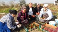ATAYURT - Mersin'de Kış Ortasında Açıkta Çilek Hasadı