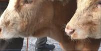 GÜN DOĞMADAN - Ağrı Hayvan Pazarında Hayvanların Ağzı Ve Burnu Buz Tuttu
