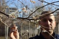 ŞAHIT - Aralık Ayında Ağaçlar Çiçek Açtı