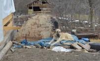 ÇOBAN KÖPEĞİ - (Özel) Kayıp 5 Kişilik Aileye Ait Çoban Köpekleri, Enkaz Alanından Ayrılmıyor