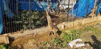 ORMANA - Kuyruğunu Kestikleri Yavru Tilkiyi Ayaklarından Astılar