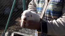 ÇOBAN KÖPEĞİ - 'En İyi Sürü Bekçi Köpeği' İçin 6 Ay Sıra Bekliyorlar