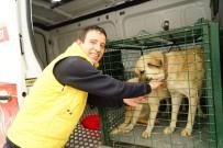 KUZÖREN - Kayıp 5 Kişilik Aileye Ait Çoban Köpekleri, Belediye Ekiplerince Barınağa Götürüldü