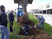 KOCA SEYİT - 300 Yıllık Zeytin Ağaçları Odun Olmaktan Son Anda Kurtuldu