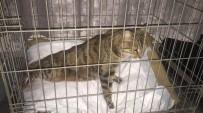 BELDEN - Şehir Magandasının Vurduğu Kedi Sakat Kaldı