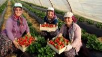 ŞEKER ORANI - Antalya'da Kış Dönemi Çilek Hasladı Başladı