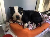 PİTBULL - Köpeğine Saldıran Pitbull'u Bıçakladı