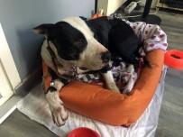 PİTBULL - (Özel) Kendi Köpeğini Kurtarmak Adına Pitbull Cinsi Köpeği Bıçakladı
