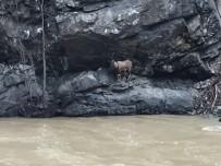 ARTVİN BELEDİYESİ - Artvin'de Yaralı Dağ Keçisini Kurtarma Mücadelesi