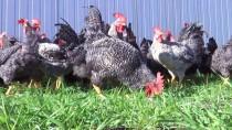 ORGANİK SEBZE - Cezaevinin 'Gezen Tavukları'na Tüketici İlgisi