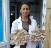 DEREKÖY - Aydın'da İstiridye Mantar Üretimi Yaygınlaşıyor